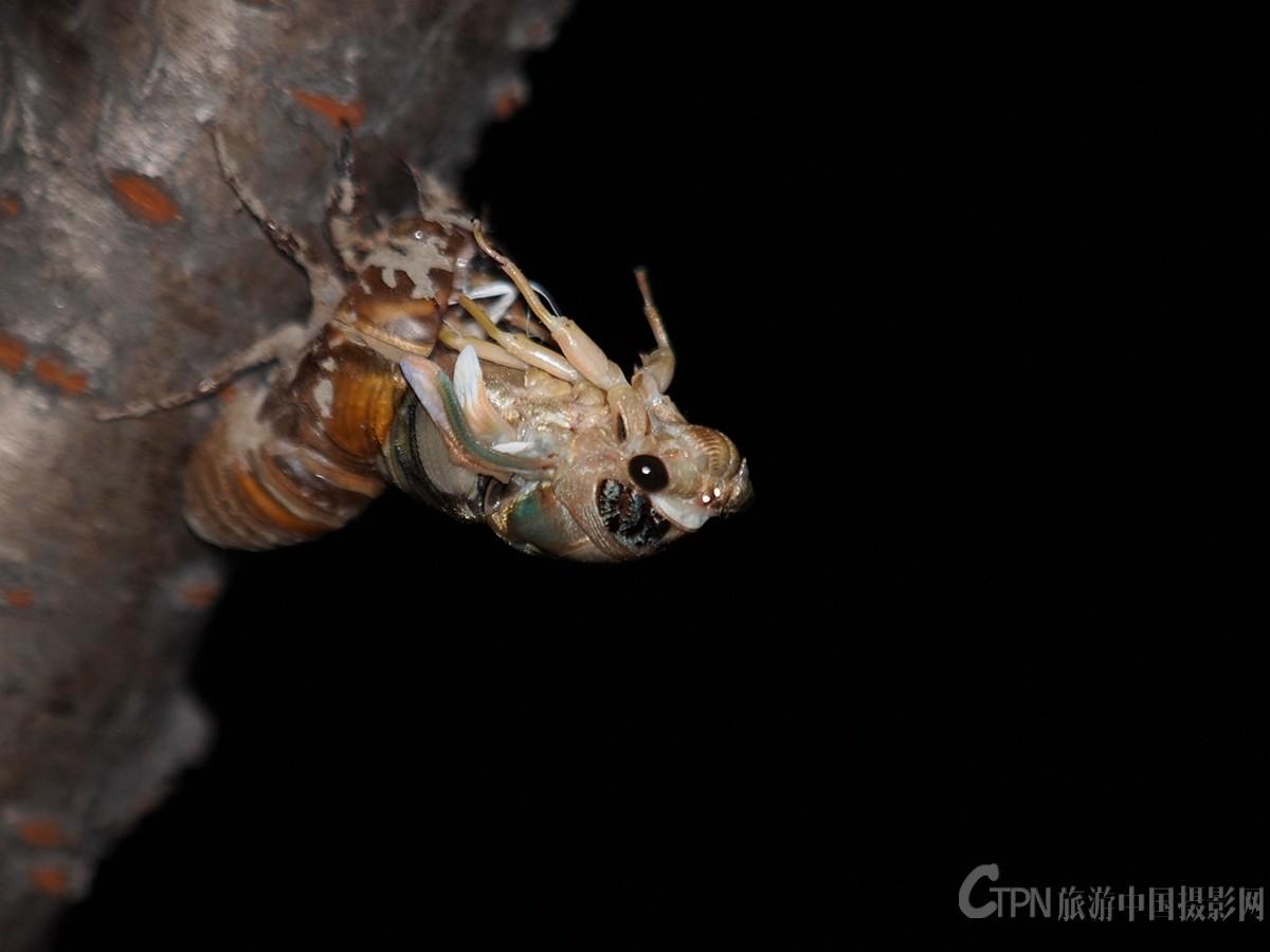 【蝉——羽化的过程】
