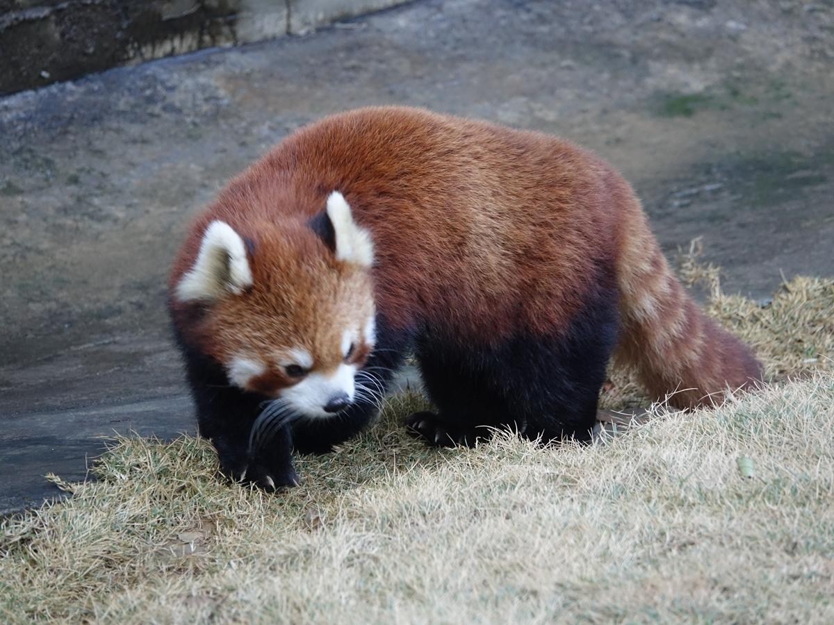 小熊猫·猫喵·