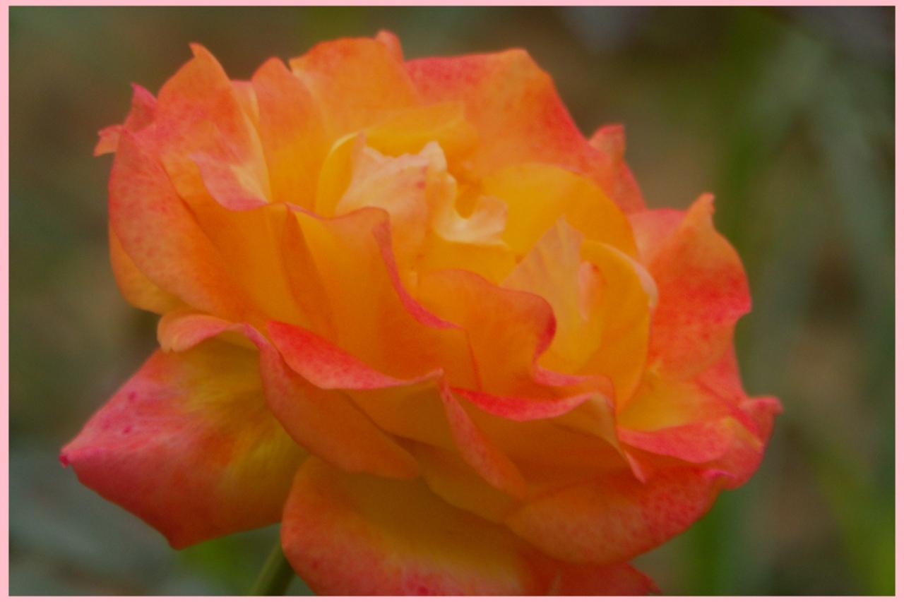 月季花正开,朵朵惹人爱。(八)1~20