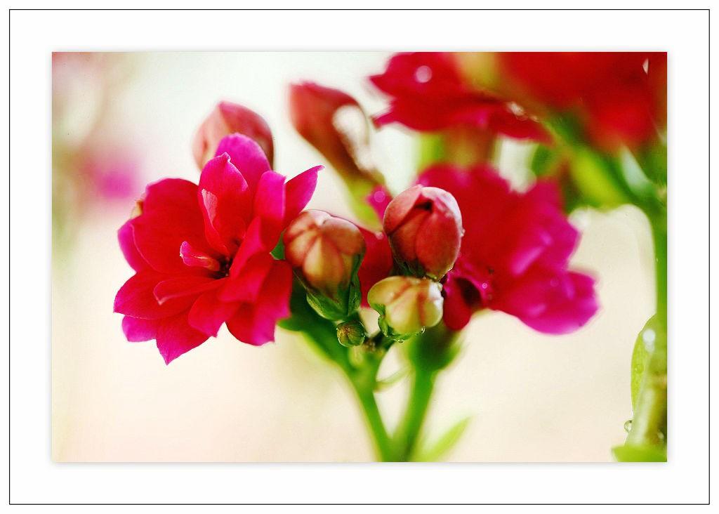 争艳——各种颜色的长寿花