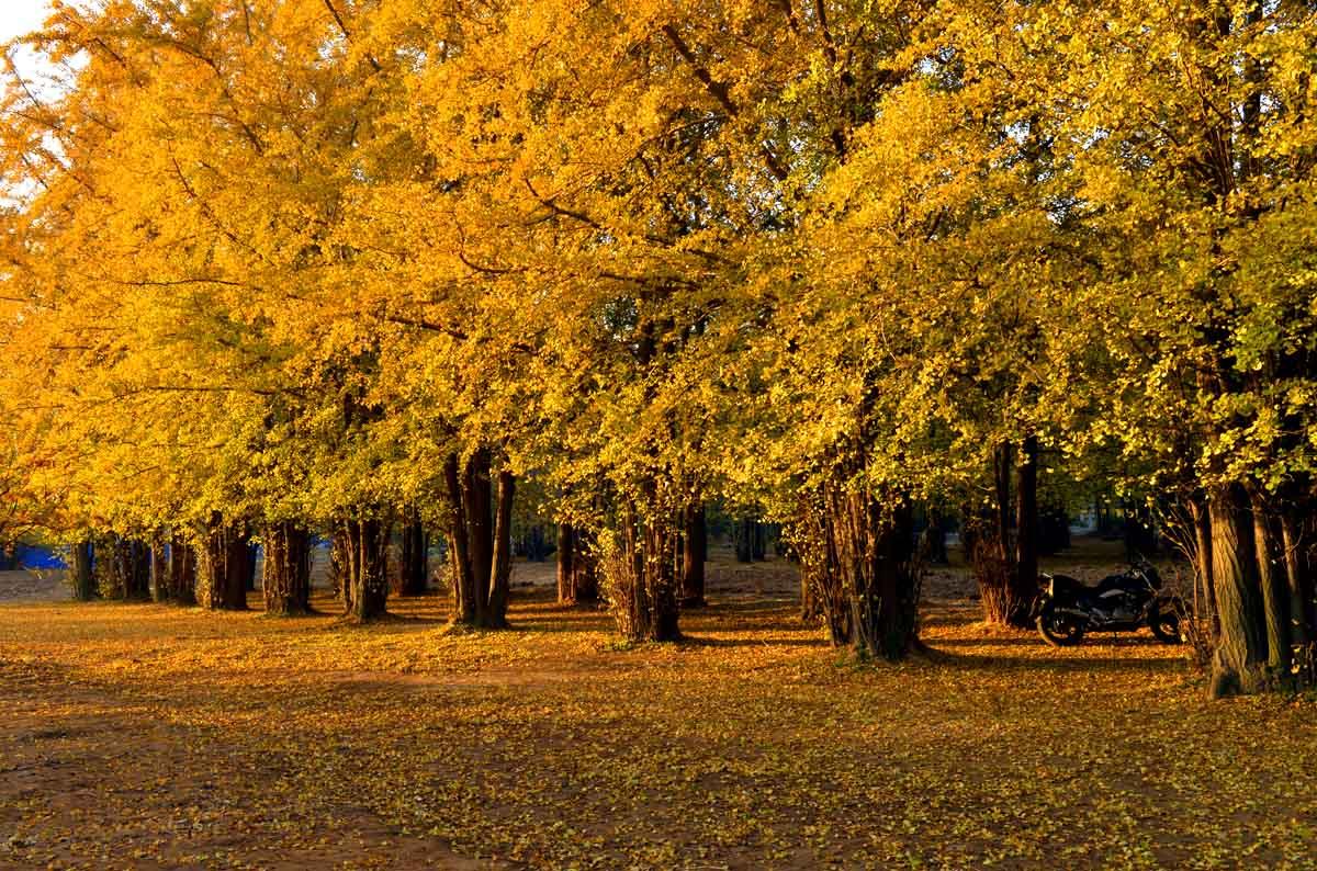 秋季银杏树