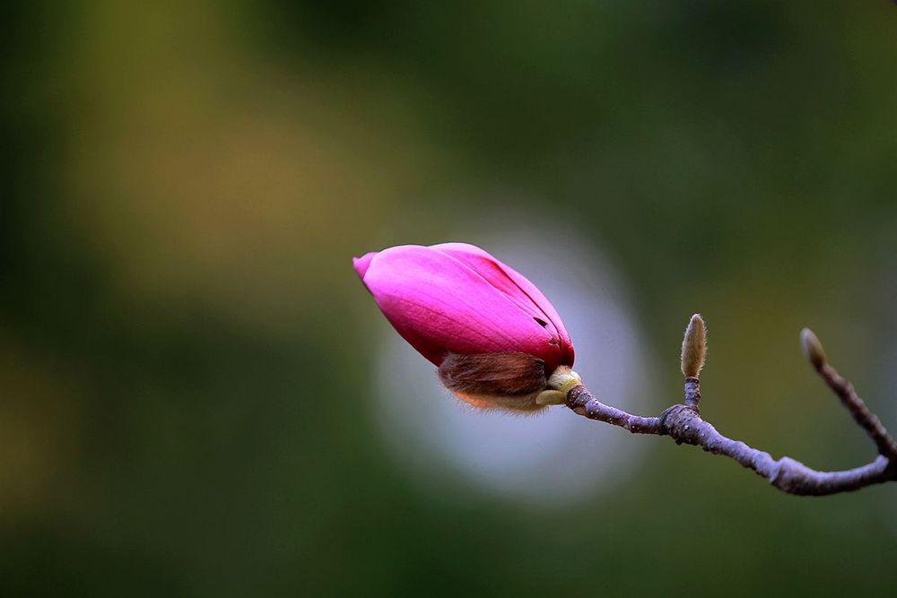 含苞欲放的玉兰花