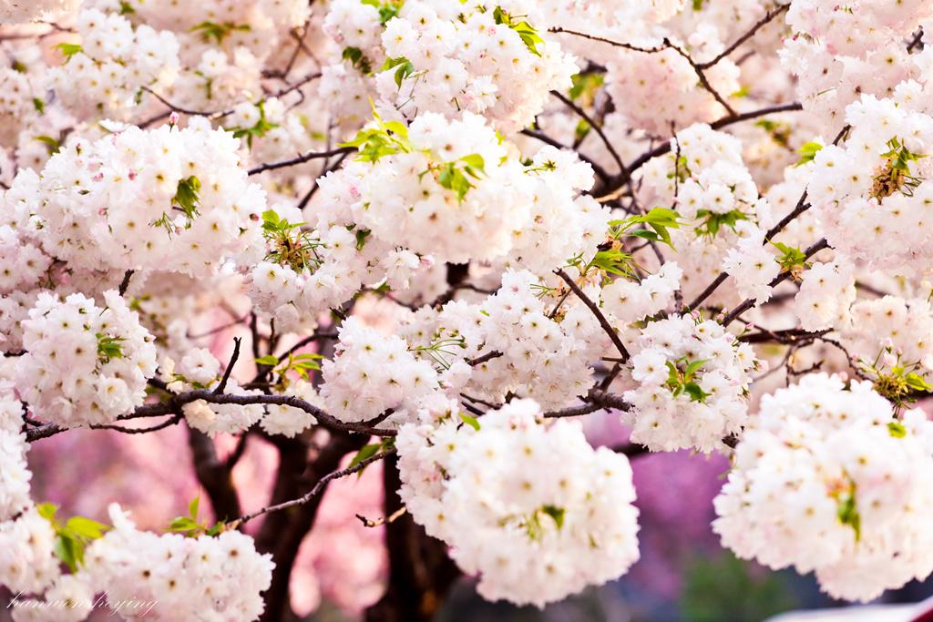 樱花盛开的时候