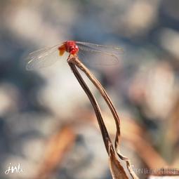 【红蜻蜓】