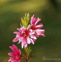 漂亮的菊花桃